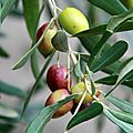 Olives bicolores