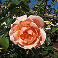 Rose saumonnée...