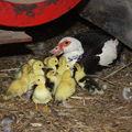 2009 05 18 Les poussins d'un jour et leur mère (10)