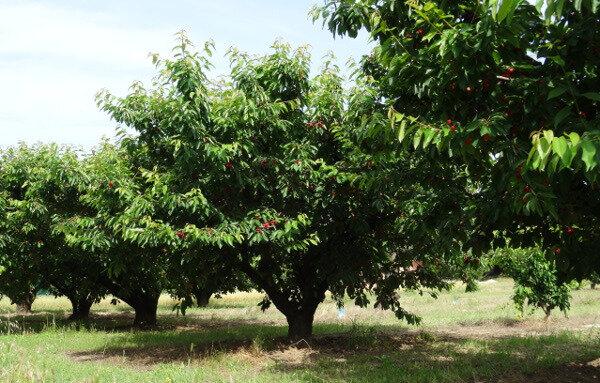 Cerisiers voisinage