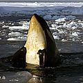 L'orque, chasseur habile