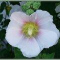 Rose trémière 250615