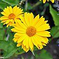 Des soleils tout l'été dans le jardin même les jours de pluie !