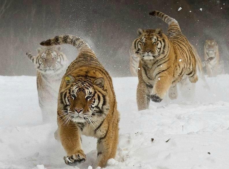 tigres neige20826_1169571665_n