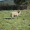 Mouton sambre et meuse