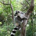 lemurien malgache