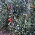 2009 08 25 Mes tomates sous serre