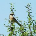 <b>Pie</b>-<b>grièche</b> <b>écorcheur</b>, Red-backed Shrike, Neuntöter