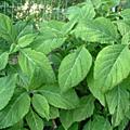 Salvia divinarum ou sauge des devins