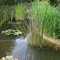 Ces joncs donnent de la verticalité à une pièce d'eau