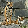 Les tigres bientôt réduits à deux sous-espèces ?
