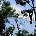 Gibbon in Rainforest