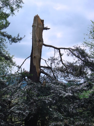 Un sapin cassé par l'orage de grêle avec tornade il y a 2 semaines