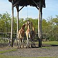 Les girafes et les zèbres