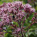 L'eupatoire, une vigoureuse plante de plein soleil