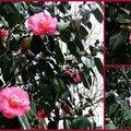Camélias roses foncés