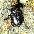 Un coléoptère menacé partout en europe