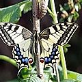 Pouponnière ou comment l'on m'a imposé 13 chenilles de papillon machaon ou porte-queue.