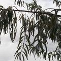 ELAEAGNUS angustifolia