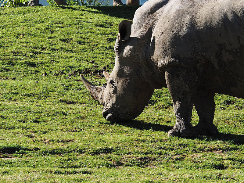 zoo-beauval-animaux-rhinoceros-29