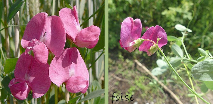 fleurs de 2 à 5 portées par un pédoncule plus long que la feuille