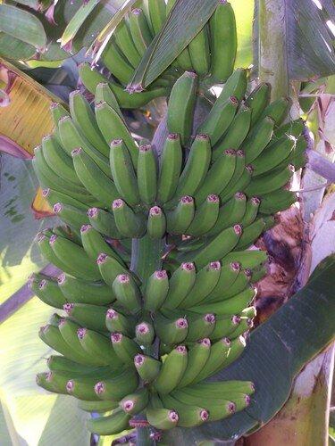 Clin d'oeil-régime de bananes zoomé