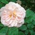 Rosier Leander • Au jardin d'André Eve