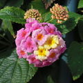Fleur de Lantana.