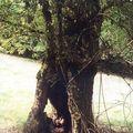 vieil arbre creux, chemin de la Molassière