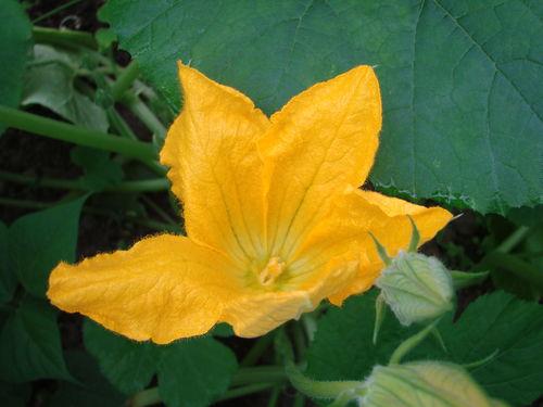 2008 06 16 Une fleur de courge spaghetti sous la serre