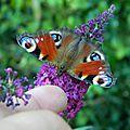 Ici, ça papillonne !