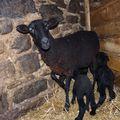 2009 10 13 La brebis avec ses deux petits agneaux nés en matinée (2)