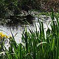Iris aquatiques 2804162