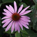2009 08 03 Une fleur d'Echinacea purpurea