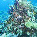 Plongée en mer rouge : said - hamam (hamata)