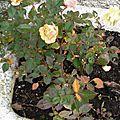 Encore en fleurs le 8 décembre
