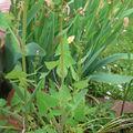 Le laiteron potager, une plante difficile à éliminer
