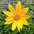 Avatar fleur jaune