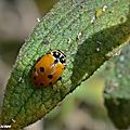 Coccinelle des friches • Hippodamia variegata • famille des Coccinellidae