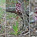 Orchis pourpre (Orchidacées)