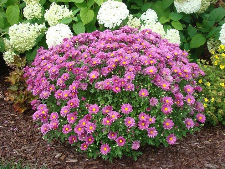 Chrysanthemum x 'Mammoth Dark Pink