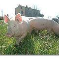 Focus : viande fraiche de porc, saucisson et grillaton