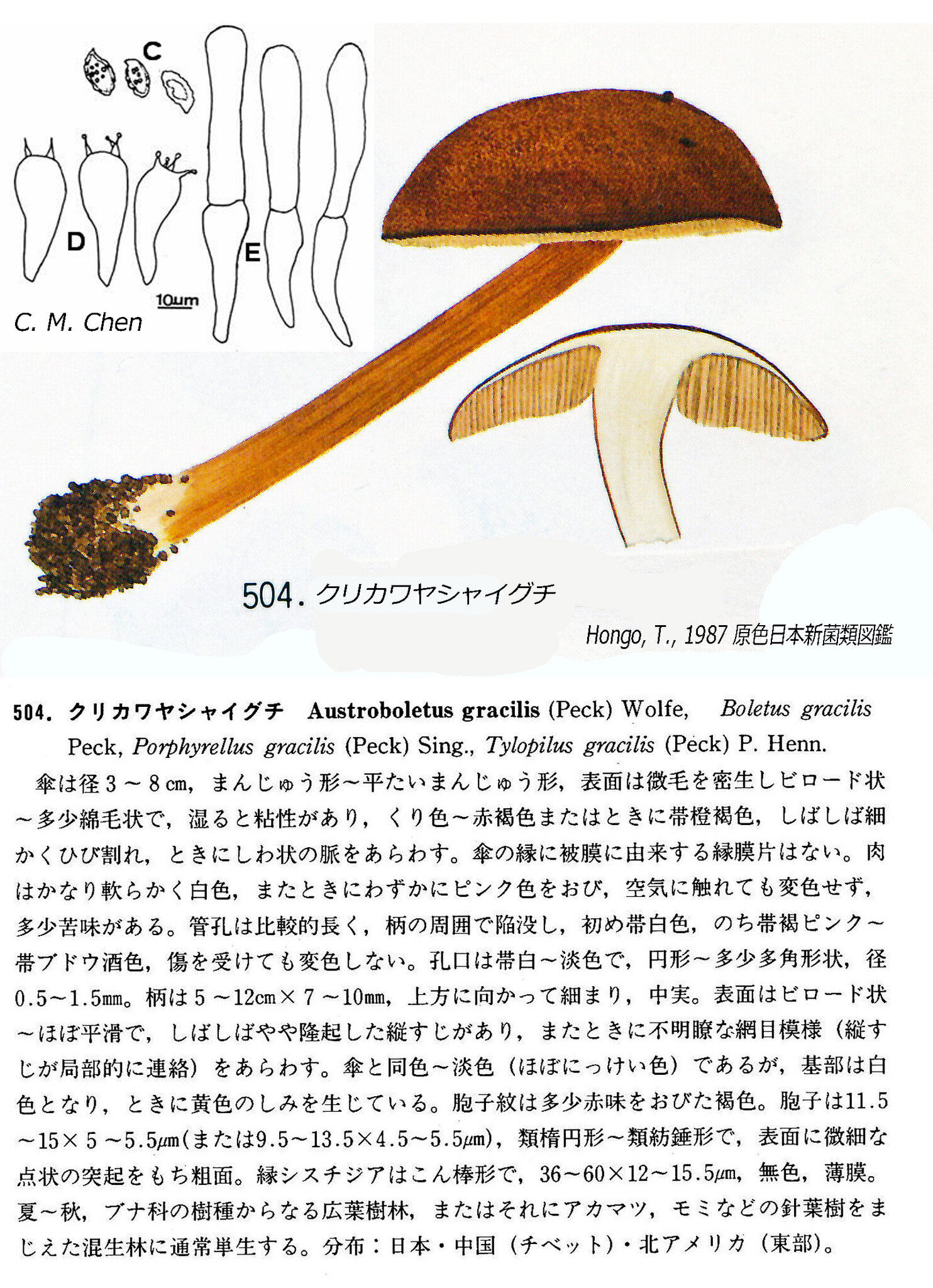 Austroboletus_gracilis_IH_pl70_504