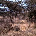 amboseli gazelle ee