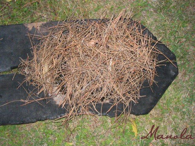 ..elles sont ensuite recouvertes d'aiguilles de pins.; qui emnlammeront ce smoules