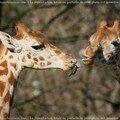 Girafes - Une histoire d'Amour