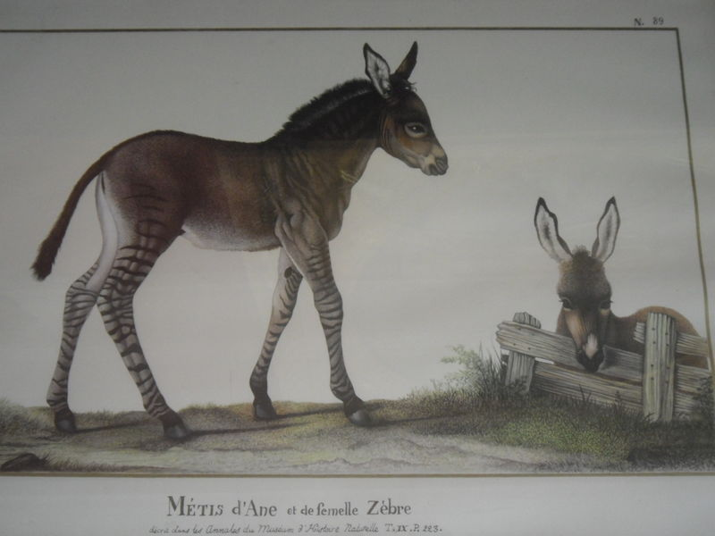 Métis d'âne et de femelle zèbre - Malmaison