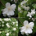 Seringat à fleurs simples