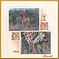 girafe5