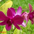 orchid_39